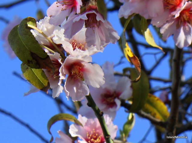 Almond Blossom is abundant this year