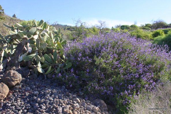 Wild lavender and prickly pear cactus side by side