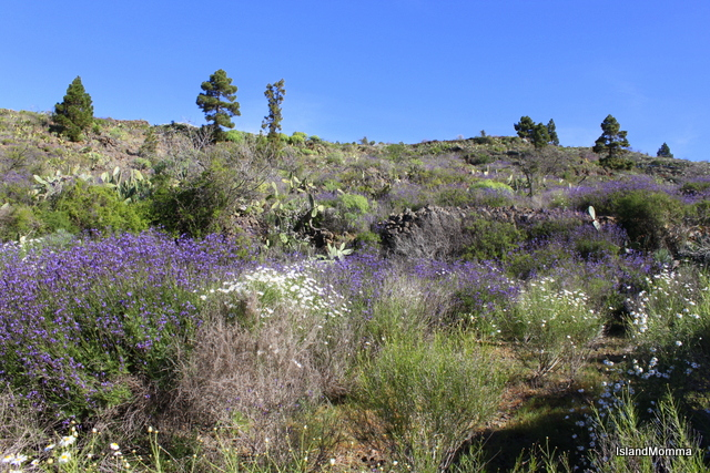 Wild lavender and margaritas flourish on the hillsides around Chirche in Guia de Isora
