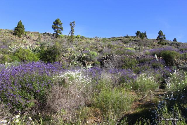 Wild lavender and margaritas flourish on the hillsides around Chirche in Guia de Isora