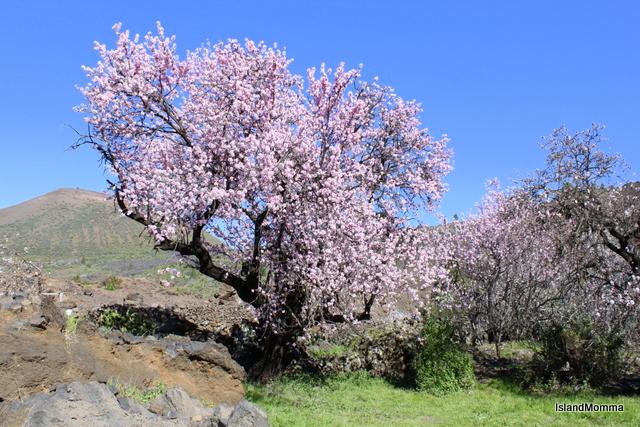 Almond blossom in Santiago del Teide