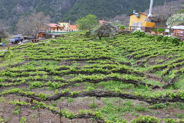 Pinolere. Vineyard in spring. New growth on old vines.