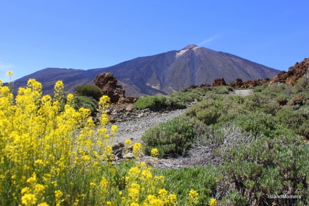 El Teide at the begining of our walk, framed by a mass of flixweed, which was prolific and added color to a landscape so often lacking in hues other than browns and blues.