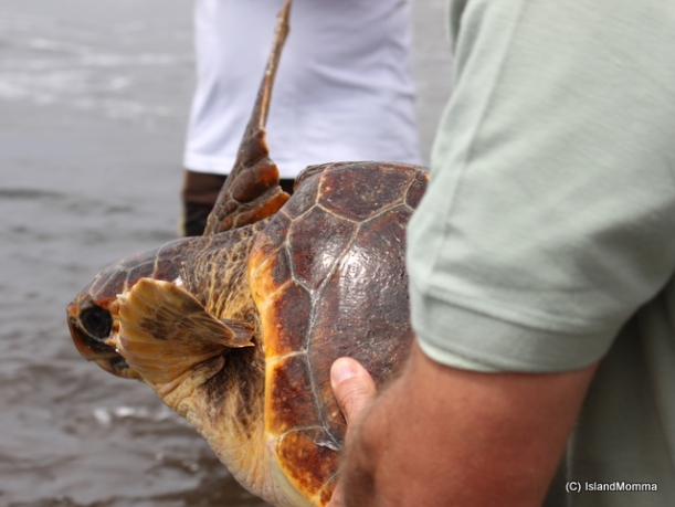 One of the guys from La Tahonilla rescue center takes a turtle down to the beach