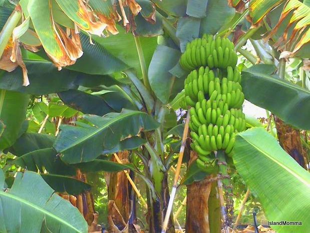 Banana plantation Hermigua