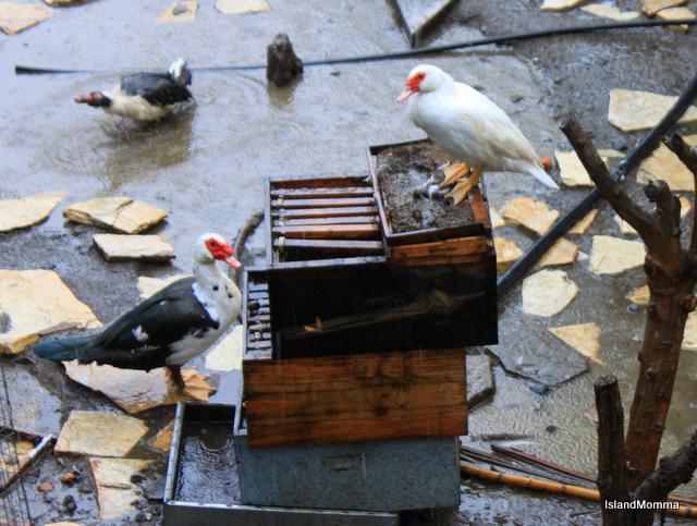 But my neighbor's ducks weren't so happy!