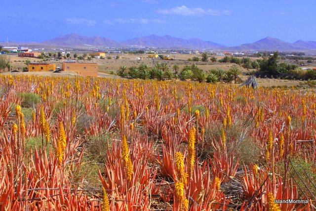 Fields of aloe vera around Juan Gopar in Fuerteventura