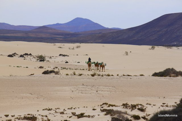 Camels going home over sanddunes Corralejo Fuerteventura