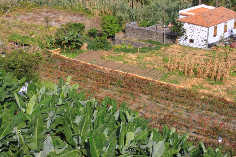 In Hermigua in La Gomera maize is strung out along a fence to dry