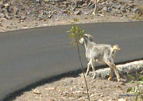 Some goats just take their lives in their hooves! It's kind of hard to get a snap when you're on your own, they kind of leap from the roadside and are gone before you can reach for the camera, so the once I was ready the snap was a bit blurry!
