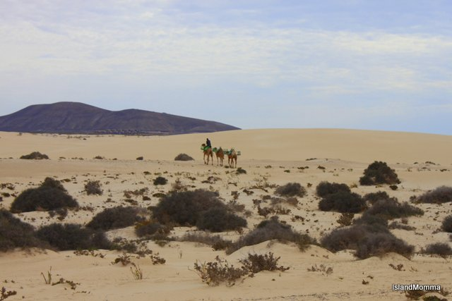 Camels on the dunes at Corralejo