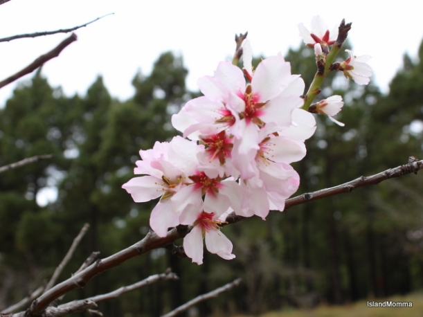 almond blossom el hierro