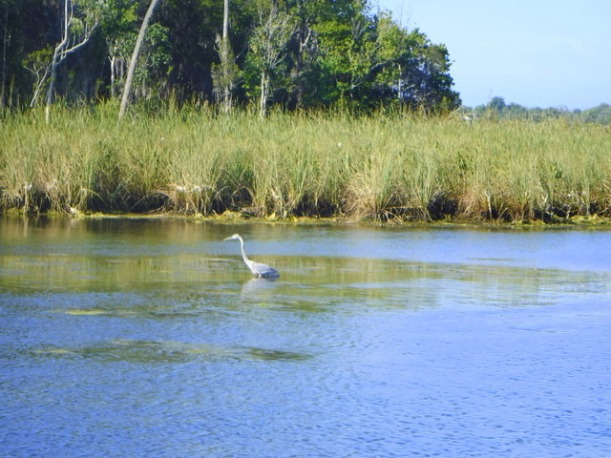 heron crystal river