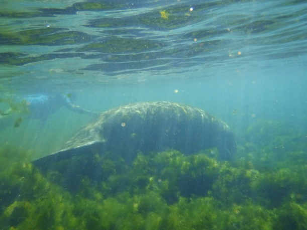 Picture Guy took of a manatee futher down the river